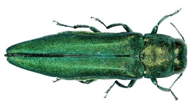 Figure 5. The emerald ash borer. (courtesy: Pennsylvania Department of Conservation and Natural Resources Forestry Archive)